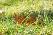 23rd Nov 2017 - Oak leaf