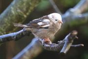 26th Nov 2017 - House Sparrow