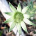 Flannel flower.