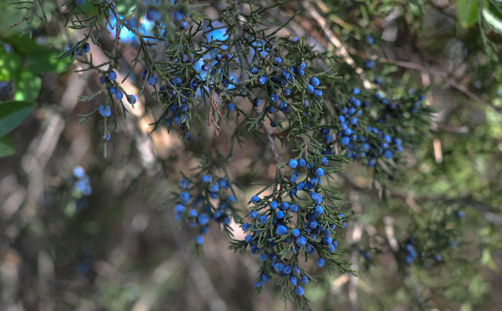 Juniper Berries by loweygrace