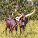 Nguni Cattle by ludwigsdiana