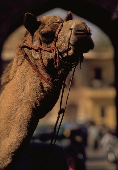 58 Camel in India by travel