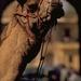 58 Camel in India