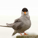 Black fronted tern by maureenpp