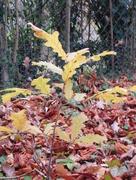 27th Nov 2017 -  Mighty oaks from little acorns grow