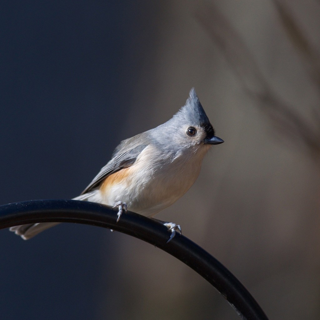 Tufted Titmouse by berelaxed