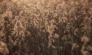 27th Nov 2017 - A Sea of Seedheads