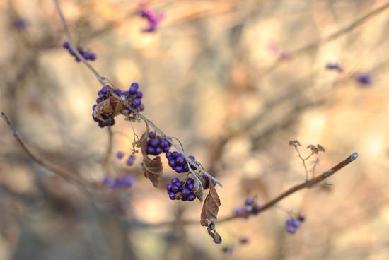 Last of the Beauty Berries by loweygrace