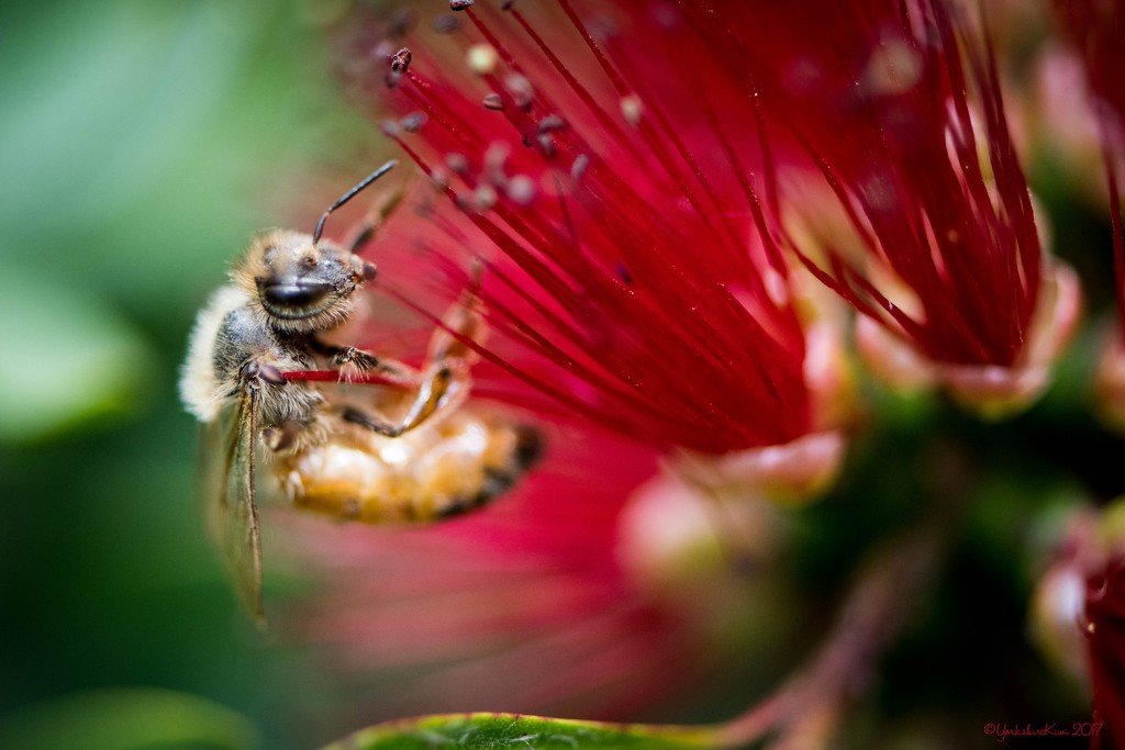 Bee on a Bottle Brush by yorkshirekiwi