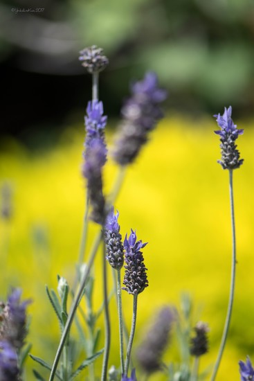 colourful lavender by yorkshirekiwi
