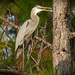 Blue Heron Waiting in the Tree! by rickster549
