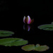 A lone water lily bud