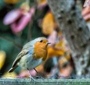 29th Nov 2017 - My little robin