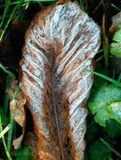 29th Nov 2017 - Frosty leaf