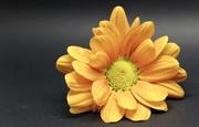 29th Nov 2017 - Macro Chrysanthemum