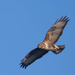 Buzzard in flight. by padlock