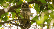 29th Nov 2017 - Barred Owl Wide Awake!