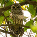 Barred Owl Wide Awake! by rickster549