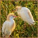 Maybe male and female Cattle Egret? by ludwigsdiana
