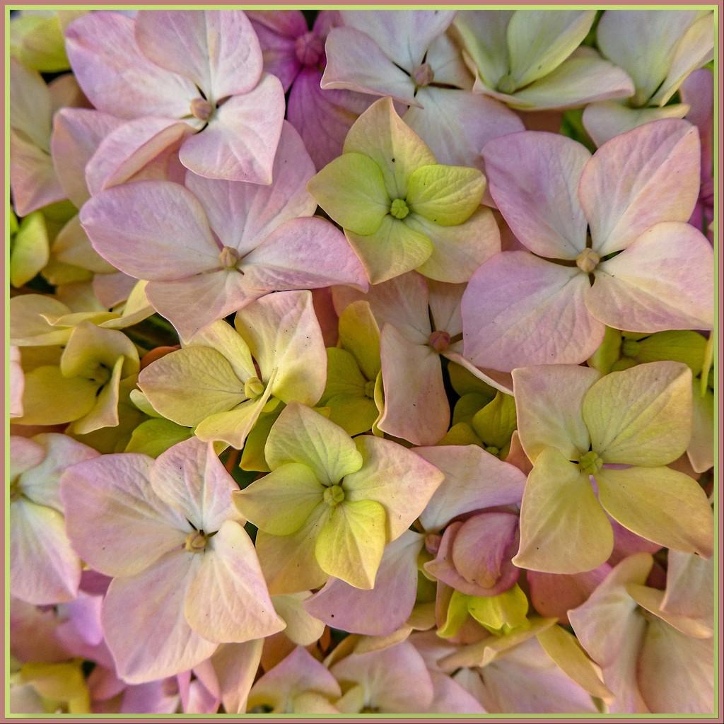 Hydrangea's pastel shades...... by ludwigsdiana