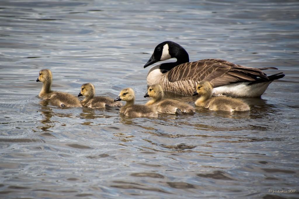 Goslings by yorkshirekiwi