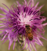 30th Nov 2017 - bee on purple flower