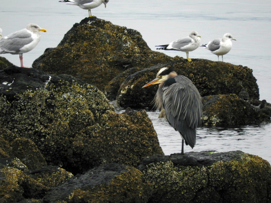 Blue Heron and Others by seattlite