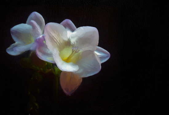 Freesia by suzanne234