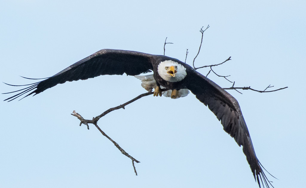 Eagle playing fetch by dridsdale