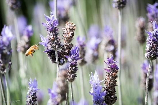 Flight of the Honey Bee by yorkshirekiwi