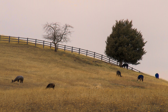 Llamas on the Hillside by 365karly1