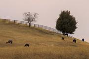 1st Dec 2017 - Llamas on the Hillside