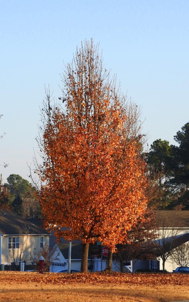 Orange Tree by homeschoolmom
