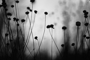 1st Dec 2017 - Wildflower bud / silhouette!
