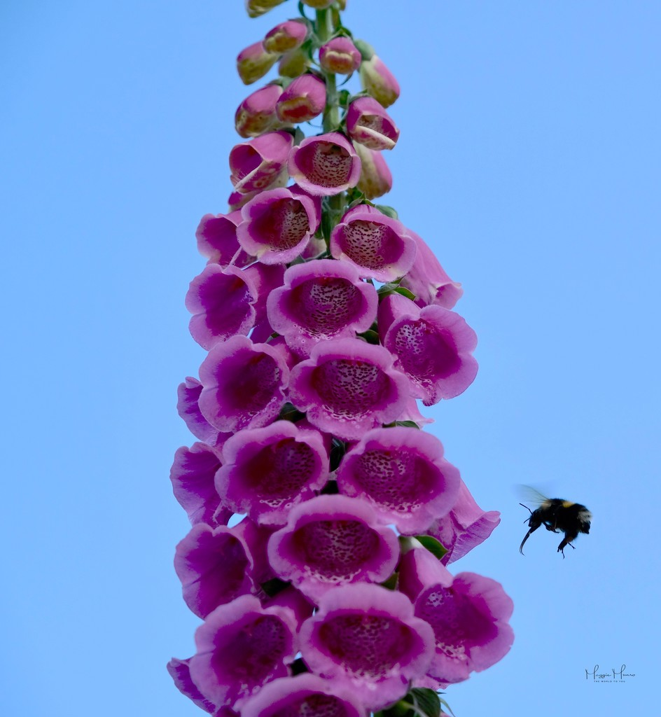 And the bee buzzes off.. by maggiemae