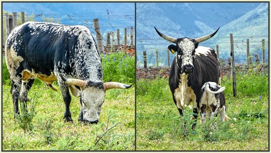 This is the real Nguni cattle. by ludwigsdiana