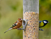 2nd Dec 2017 - Chaffinch and Great Tit