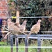 Pheasant Harem !