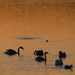 Swans at Sunrise by tosee