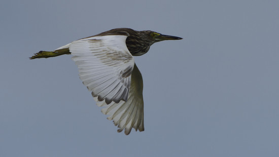 chinese pond heron by mjalkotzy