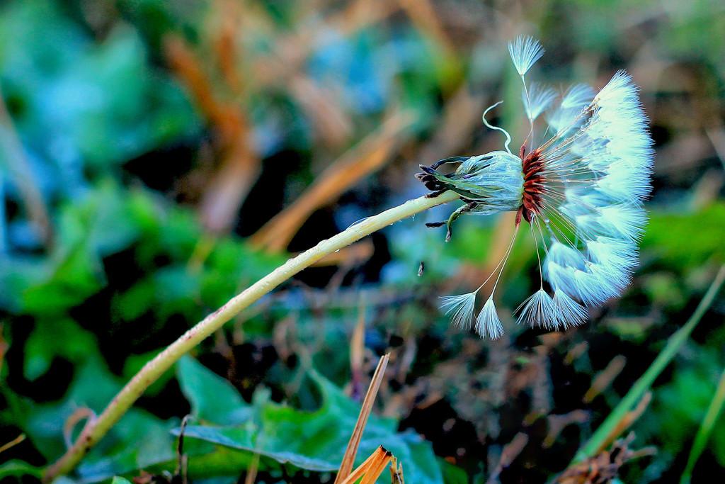 Dandelions - in December?? by milaniet