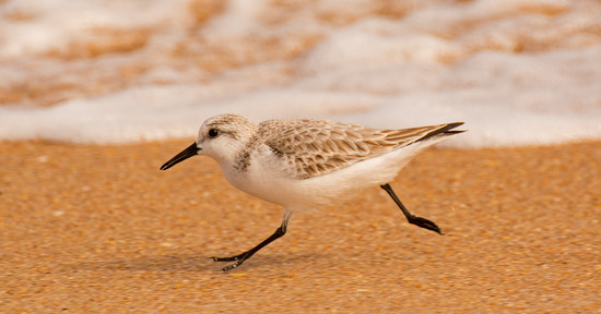 Sandpiper Running From the Waves! by rickster549