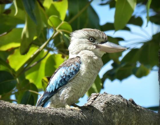 Blue winged Kookaburra by judithdeacon