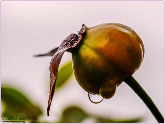 Rose Hip And Raindrops by carolmw