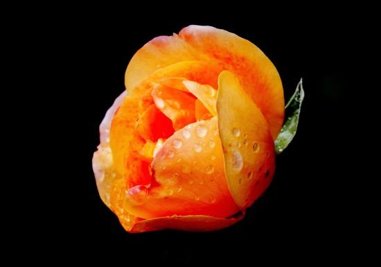 Last Rose by casablanca