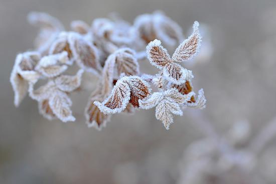 Frosty leaves! by fayefaye