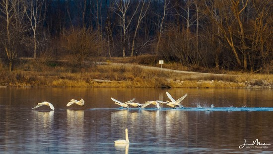 Swans taking Off by jae_at_wits_end