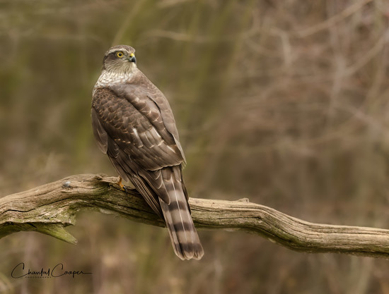 Sparrowhawk by shepherdmanswife