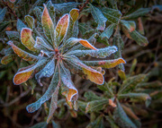 3rd Dec 2017 - Frost on Greens