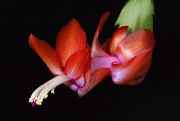 2nd Dec 2017 - Christmas Cactus Bloom